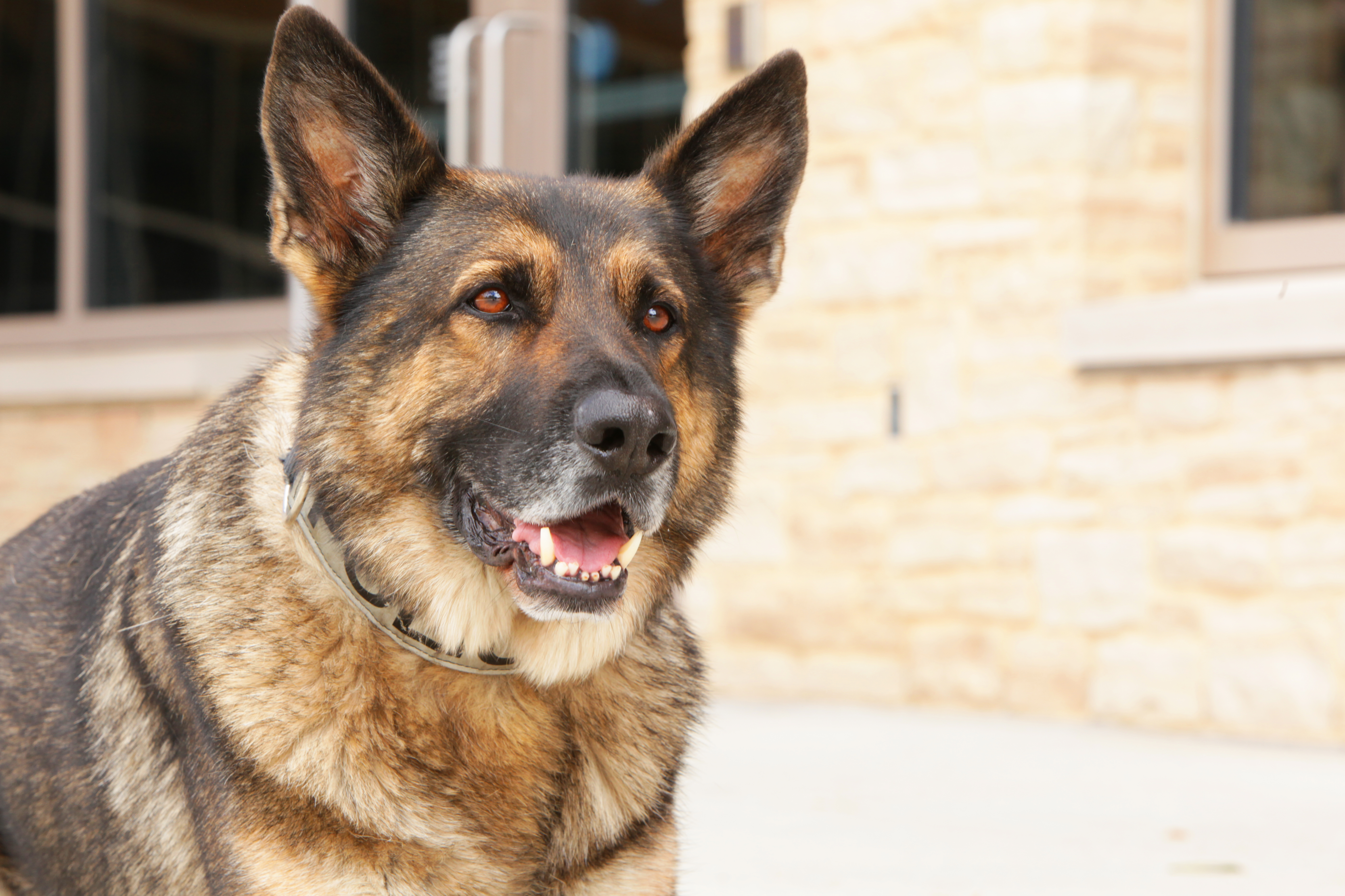 K9 Odin Uwpd Bomb And Tracking Dog Put To Rest Uwpd